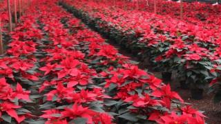 Un millón 571 mil plantas de Nochebuena listas para esta Navidad